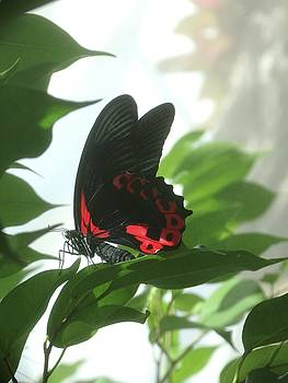 Scarlet Mormon Butterfly by Rebecca Overton