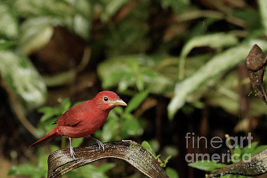Scarlet Tanager in Costa Rica by Natural Focal Point Photography