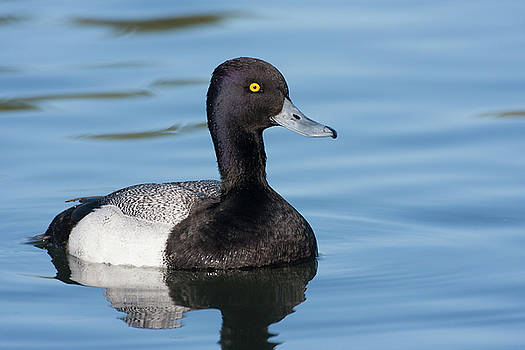 Scaup Swimming by Ruth Jolly