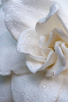 Scent of a Gardenia by Carolyn Dalessandro