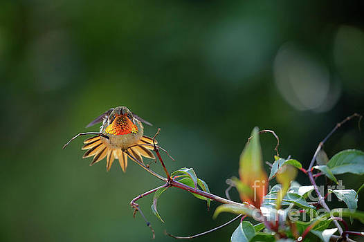 Scintillant Hummingbird by Juan Carlos Vindas