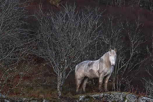 Scottish Highland Pony by Derek Beattie