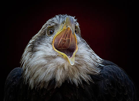 Screaming Eagle by Randy Hall
