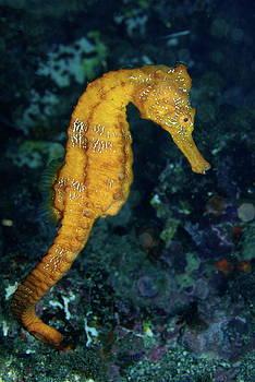 Sami Sarkis - Sea horse underwater view