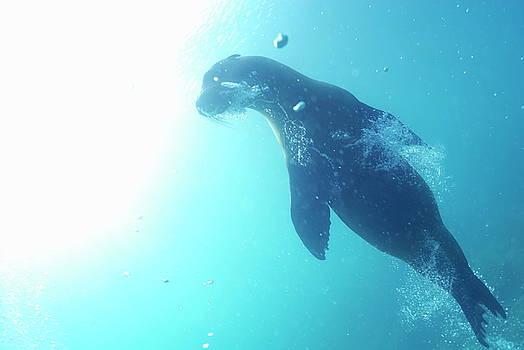 Sami Sarkis - Sea lion swimming underwater