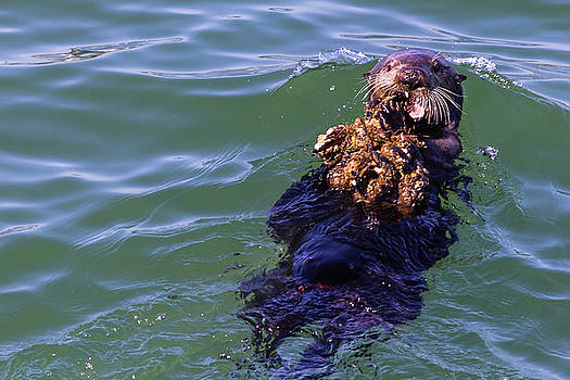 Sea Otter with Lunch by Randy Bayne