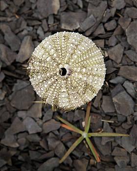 Sea Urchin by Eunice Gibb