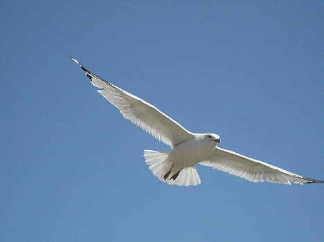 Seagull Flight by Renee Antos