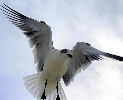 Seagull in Flight I by Jeanne Forsythe