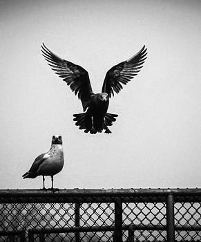 Seagull Landing by Ray Congrove