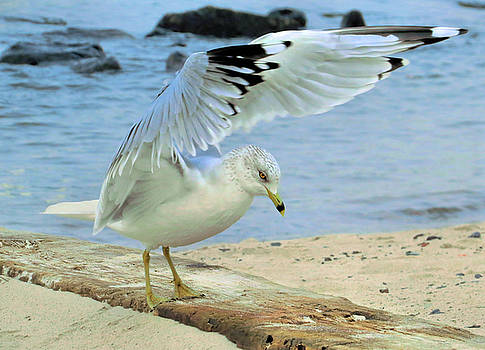 Seagull on the Beach by Nina Bradica