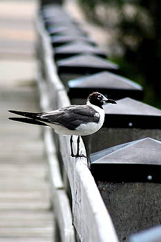 Seagull on the Dock by Gulf Island Photography and Images