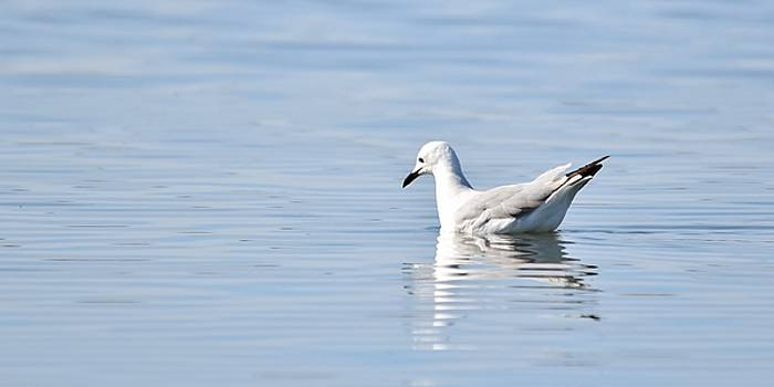 Seagull on water... by Werner Lehmann