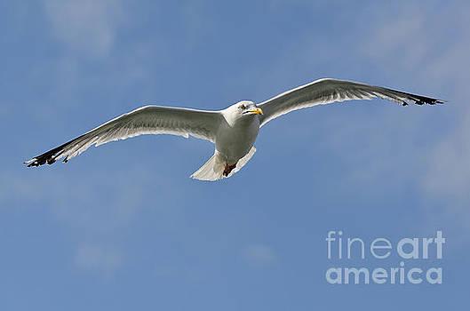 Seagull patrol by Steev Stamford