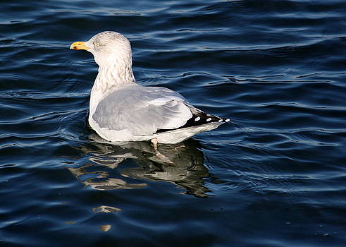 Anne Babineau - seagull reflections