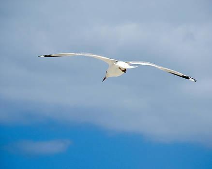 TONY GRIDER - Seagull