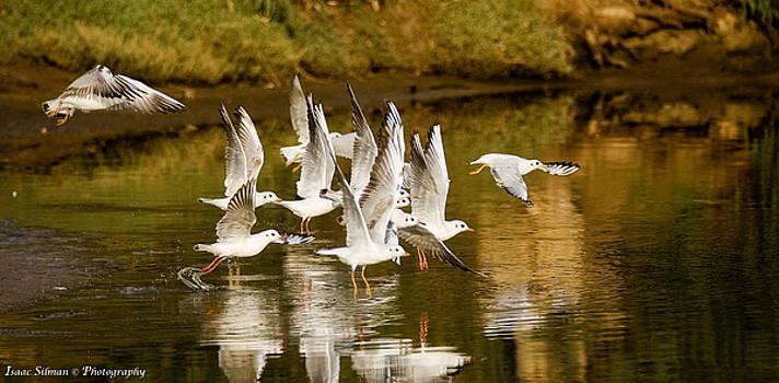 Isaac Silman - Seagulls  take off