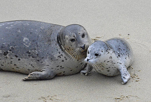Seal Baby  by Judy Grant