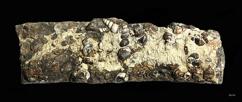 Seashell  Fossils by Carl Deaville