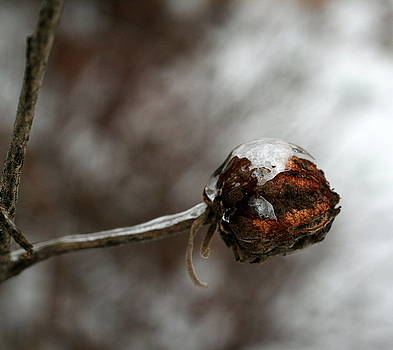 Diane Merkle - Seed Pod in Ice