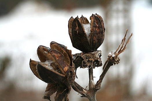 Diane Merkle - Seed Pods and Snow