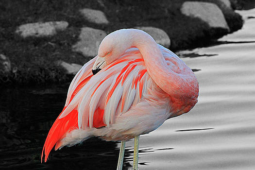 Selective Color Flamingo  by Shoal Hollingsworth