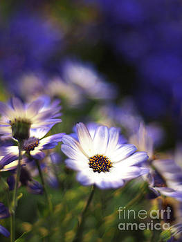 Senetti Dreams by Dorothy Lee