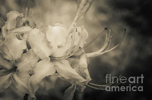 Sepia Aged Rhododendron Blooms Nature Photograph by Melissa Fague
