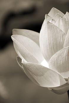 Sepia Lotus by Carolyn Stagger Cokley
