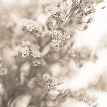 Sepia Solidago 2 by Anne Gilbert