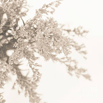 Sepia Solidago I by Anne Gilbert