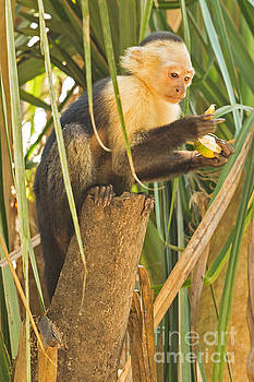 Serious White-Faced Capuchin Monkey by Natural Focal Point Photography