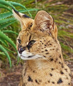 Serval Watcher by Margaret Saheed