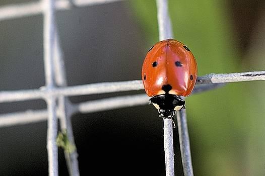 Seven Spotted Lady Beetle by Scott Carlton