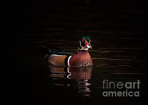 Shaded Wood Duck by Robert Frederick