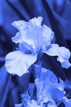 Cathy  Beharriell - Shades of Blue Iris