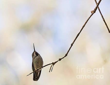 Shadow Hummer by Kate Brown