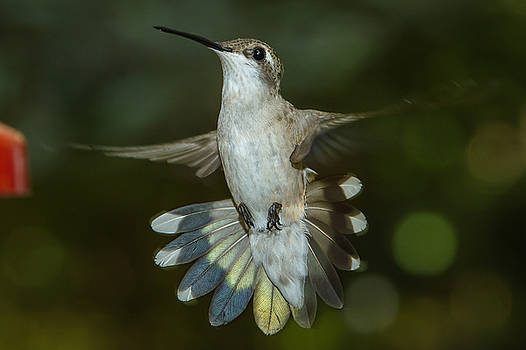 Shake your tail feathers by Robert L Jackson