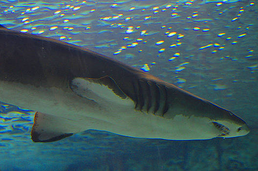 Shark by Peter  McIntosh