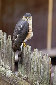Sharp-Shinned Hawk by Greg Gard