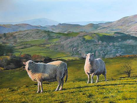 Harry Robertson - Sheep at Rhug