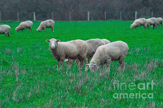 Sheep In A Paddock 2 by Naomi Burgess
