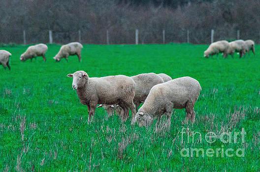 Sheep In A Paddock 3 by Naomi Burgess