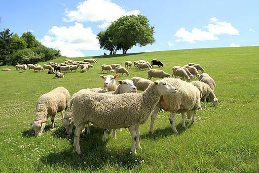 Sheep by Kathy Stanczak