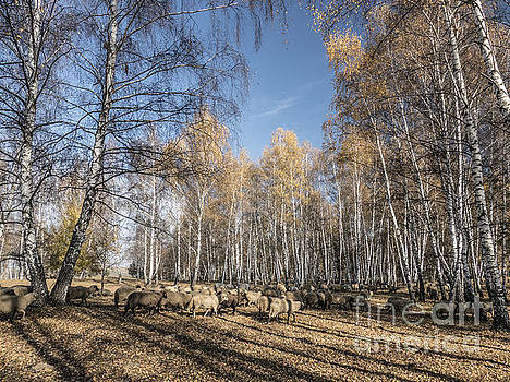 Sheep on field in autumn  by Odon Czintos