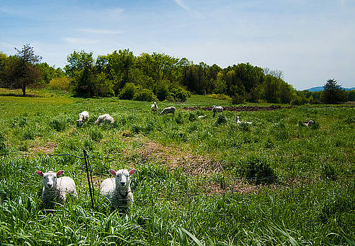 Sheep Stare by Mandy Wiltse
