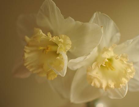 Sheer Daffodils by Beverly Cazzell