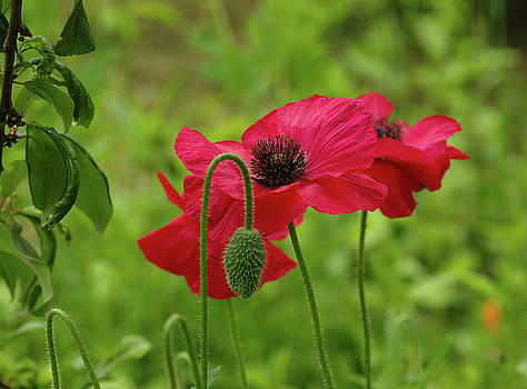 Shirley Poppy by Marilyn Peterson