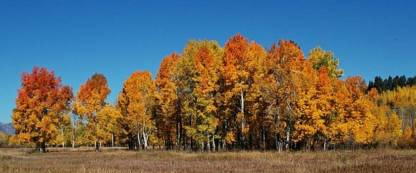 Showy Aspens by Patty Plummer