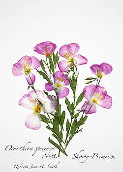 Showy-Primrose by Roberta Jean Smith